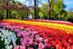 Keukenhof One of the world's largest flower gardens located in South Holland